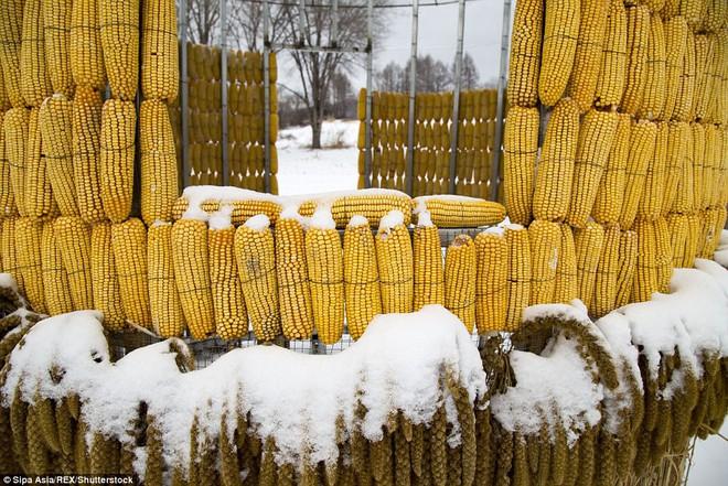 Bỏ tiền mua 30.000 bắp ngô về đổ đầy sân, người nông dân khiến mọi người choáng váng khi thấy kết quả - Ảnh 8.