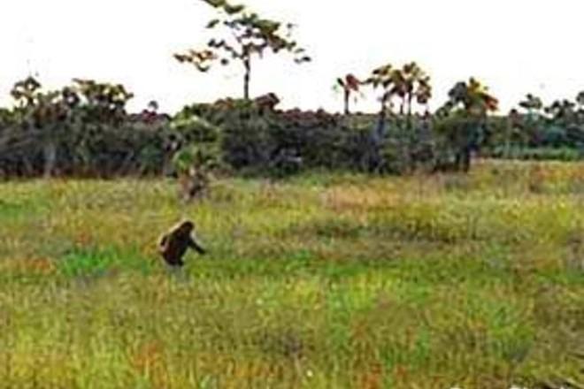 Sinh vật bí ẩn trong lịch sử nước Mỹ: Skunk Ape với cơ thể giống khỉ đột và có mùi hôi như chồn - Ảnh 1.