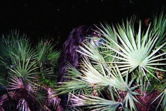 Sinh vật bí ẩn trong lịch sử nước Mỹ: Skunk Ape với cơ thể giống khỉ đột và có mùi hôi như chồn - Ảnh 2.