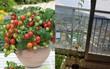 Mẹ trồng cà chua lùn cho con đem đến lớp, sau 2 tháng cây cao 1m6, ra đúng 1 trái, cô giáo chấm 1 điểm cả hai mẹ con