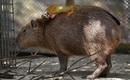 Giật mình với loài chuột khổng lồ nặng đến 100kg có