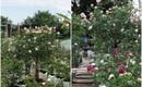 Có một khu vườn hồng rộng gần 1000m² đẹp như xứ sở thần tiên giữa lòng Hà Nội