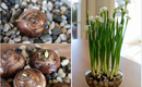 Cách trồng thủy tiên bằng củ không cần đất để trang trí nhà đón Tết, trồng ngay từ bây giờ để ra hoa đúng thời điểm