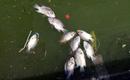 Hà Nội: Cá chết bất ngờ nổi trắng Hồ Tây, bốc mùi hôi thối khó chịu