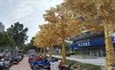 Lóa mắt với hàng cây bọc vàng ròng trên phố