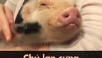 Chú lợn cưng có lối sống năng động