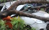 TP.HCM: Mưa lớn, xà cừ bật gốc đè bẹp ô tô khiến một phụ nữ bị thương nặng