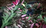Hà Nội: Nông dân Tây Tựu phát khóc vì hoa ly nở sớm, rụng đỏ ruộng trước Tết