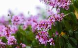 Sắc tím hoa bằng lăng khiến Hà Nội thơ mộng hơn giữa mùa hạ cháy