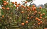 Hà Nội: Nhiều chủ vườn quất bỏ cuộc chờ quả héo bán cho nơi làm... mứt