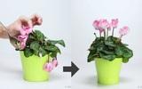 Tận dụng vỏ chuối, vỏ trứng và bã cà phê để cứu sống ngay chậu hoa héo úa của bạn