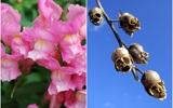 Loài hoa màu hồng tuyệt đẹp nhưng khi tàn lại biến thành đầu lâu ghê rợn