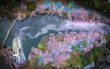 Cảnh đẹp tựa thiên đường ở Nhật Bản vào mùa hoa anh đào nở