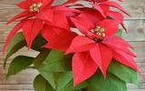 Tự làm chậu hoa trạng nguyên sắc đỏ rực rỡ trang trí nhà đẹp