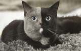 """Chùm ảnh về chú mèo """"hai mặt"""" đáng yêu nhất thế giới"""