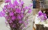 Chuyên gia lý giải sự thật về hoa đỗ quyên ngủ đông mà chị em đang sốt xình xịch mua để trưng Tết