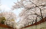 Quang cảnh tuyệt đẹp ở các địa điểm ngắm hoa anh đào tại Hàn Quốc