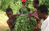 Điều bất ngờ về thảo dược của người Philippines được trồng ở Việt Nam