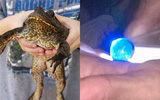 Xôn xao chuyện mổ ếch được ngọc quý có giá cả chục tỉ đồng
