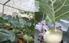 Nữ giảng viên đảm đang trồng gần trăm cây su hào củ siêu to trên sân thượng 40m² ở Hà Nội