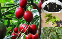 Hướng dẫn cách trồng cà chua thân gỗ Tamarillo đang vô cùng