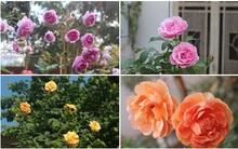 Năm mới cùng ngắm vườn hồng đẹp ngất ngây giữa đất trời Tây Hồ, Hà Nội