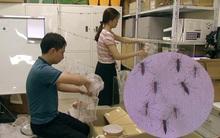 Việt Nam nuôi thử nghiệm loại muỗi làm