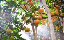 Cái Tết ấm của người trồng quýt Hồng đất Lai Vung