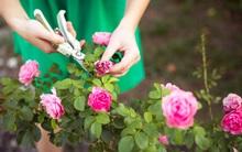 4 mẹo nhỏ đơn giản giúp hoa hồng nở rực rỡ trong vườn dành cho người mới trồng
