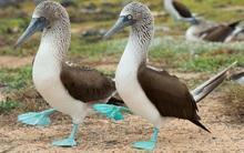 """Tập tính """"cua gái"""" kỳ lạ của loài chim có đôi chân xanh biếc siêu đáng yêu"""