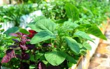 4 mẹo siêu hay khi trồng rau đay, rau dền để cả hè không lo thiếu rau ăn