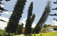 Kỳ lạ những cây thông không mọc thẳng đứng mà nghiêng về một bên khiến các nhà khoa học bối rối