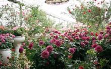 Nữ thạc sỹ nông nghiệp sở hữu các khu vườn hoa hồng với 600 giống hồng nội và ngoại đủ màu sắc