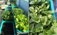 Hàng ngày tiếp xúc với bệnh nhân ung thư, nữ dược sĩ quyết trồng 100 chậu rau sạch xanh trên sân thượng cho gia đình