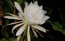 Chỉ xuất hiện 1 đêm duy nhất trong năm, loài hoa này sẽ khiến tất cả những người chứng kiến kinh ngạc