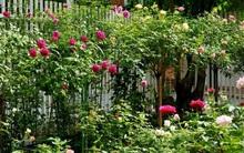 Vườn hồng 70m² đua nhau tỏa hương, khoe sắc của nữ phó tổng giám đốc yêu hoa đất Cảng