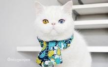 Mắc bệnh hiếm gặp, nàng mèo sở hữu 2 màu mắt tuyệt đẹp