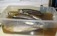 """Những con cá này đang được """"tắm"""" trong chất lỏng quen thuộc để khử mùi tanh, bạn biết là gì không?"""