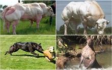 Choáng với những con vật cơ bắp cuồn cuộn như lực sĩ thể hình