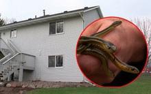 Tưởng mua được căn nhà mơ ước, ai dè lại biến thành ác mộng khi bắt được 95 con rắn bên trong