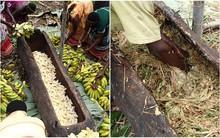 Thấy người dân đổ đống chuối vào thân cây gỗ rồi giẫm nát, ai cũng ghê nhưng không ngờ đây là thức uống