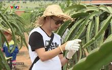 Bố Nguyễn Hải Phong vô tư bấm điện thoại trong khi con gái đang vất vả hái thanh long