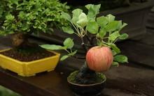 10 chậu bonsai cây ăn trái mini siêu đẹp dùng trang trí nhà dịp Tết