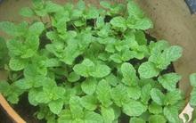 5 loại rau trồng siêu dễ, cho lá quanh năm, con nít còn trồng được nói gì bạn