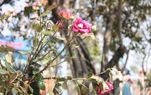 Lễ hội hoa hồng Bulgaria 2018: Xuất hiện nhiều hoa héo úa dù lễ hội mới diễn ra 2 ngày
