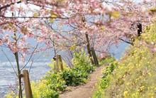 Ngẩn ngơ trước vẻ đẹp của hoa anh đào Nhật Bản trong mùa Hanami