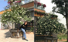Ngày 8/3 cùng ngắm cây hồng bạch nở hàng trăm bông của người phụ nữ dành trọn niềm đam mê cho hoa ở Thái Nguyên