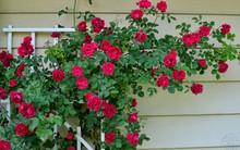 7 loài hoa hồng leo đẹp như những vũ công quyến rũ nên có mặt trong vườn của bạn