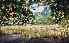 Tháng 4, đến Cúc Phương ngắm hàng vạn chú bươm bướm bay rợp trời