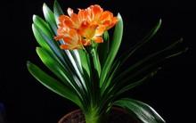 Lan quân tử - Loài hoa vừa sang trọng, yêu kiều vừa tốt cho phong thủy vào nhà bạn dịp Tết